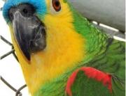 papagaio ensinado