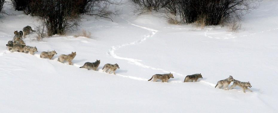 exemplo dos lobos - alcateia