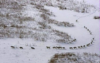 lobos alcateia exemplo dos lobos